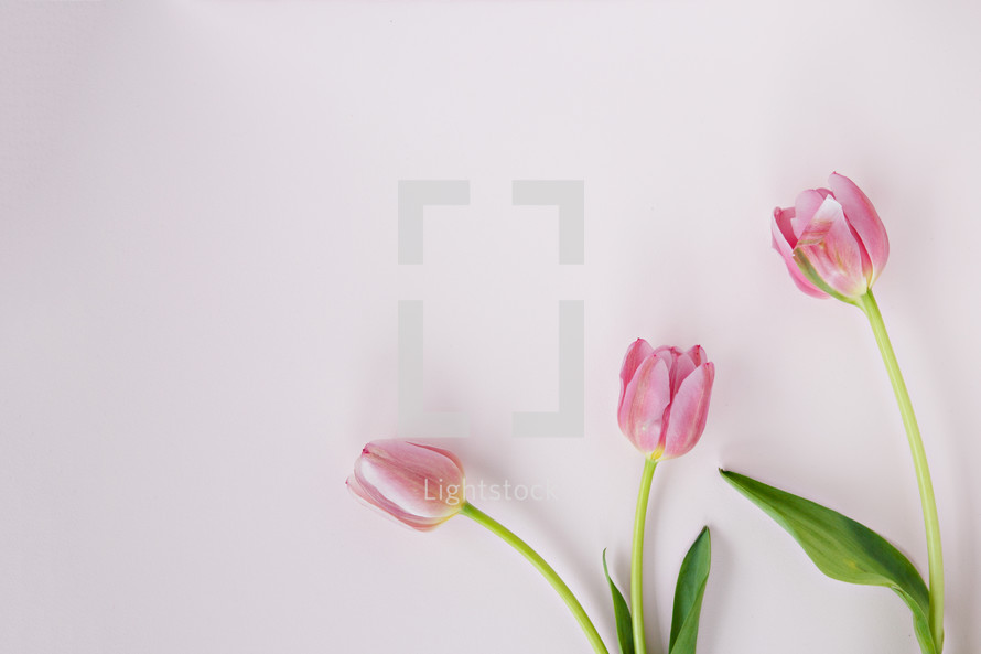 pink tulips on a light pink background