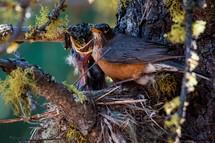 mother robin feeding his babies.