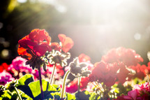 sunlight on flower in a garden