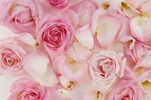 pink roses petals