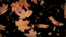Autumn leaves falling animation with Alpha Channel. This animation is with transparent background so you can add your new background. Seamless looping 4k