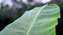 large banana leaf