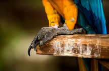 claws and feet of a military macaw parrot