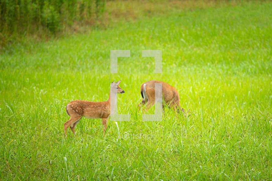 Two young fawns grazing in meadow with tall grass