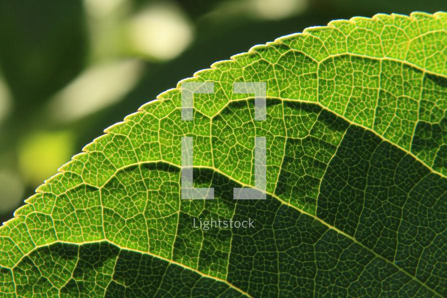 closeup of veins and ridges of a green leaf