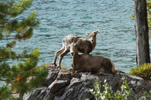 Big horn sheep and lamb on a rock beside water