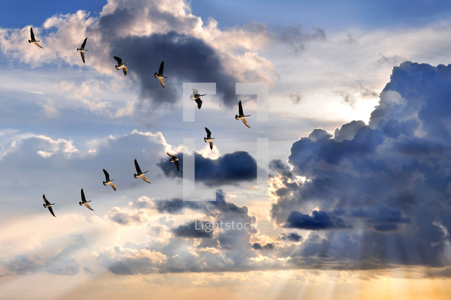 migration, geese flying in a V