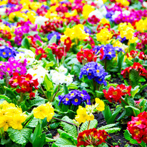 colorful rainbow of flowers in a flower bed