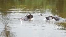 hippopotamus in Uganda