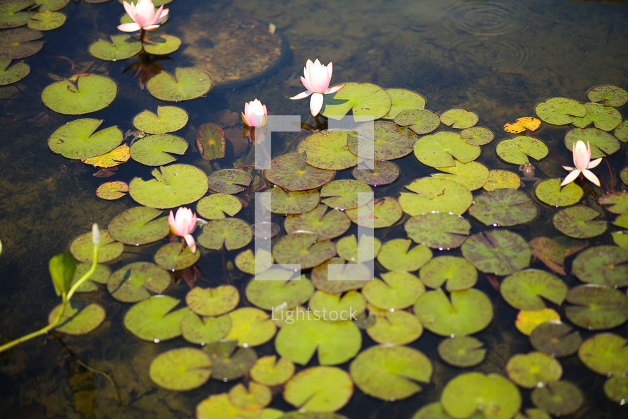 Lilly pads in the pond