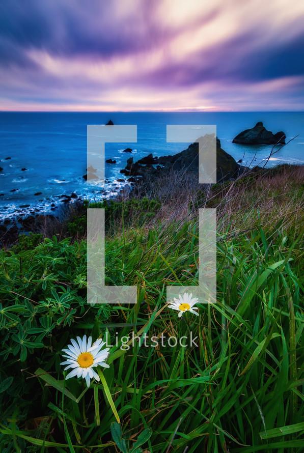 daisies along a shore