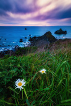 daisies along a shore