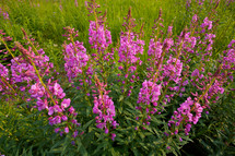 fireweed wild flowers