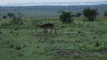 gazelle in Uganda
