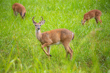 Three young White-Tailed male and female deer grazing in tall grass