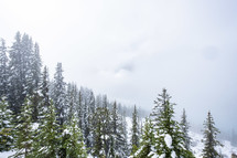evergreen forest around Peyto lake in winter