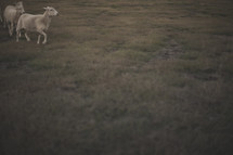 running sheep in a pasture