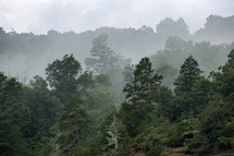 Green trees in a forest on the edge of a mountain surrounded by fog