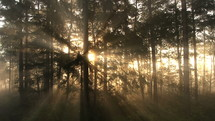 sunbeams through trees in a forest
