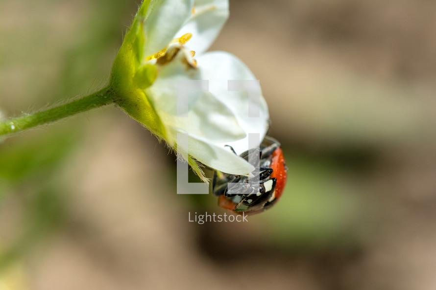 ladybug on a white flower