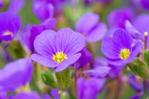 purple lungwort flowers