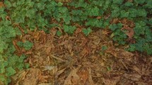 ivy and fall leaves on the ground