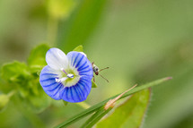 beetle on a blue flower