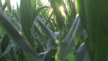 corn in a corn field