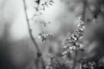 black and white of new leaves on tree branches