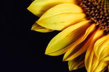 yellow sunflower in studio