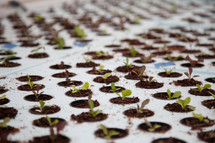 sprouting lettuce