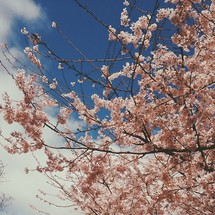 pink flowers on a tree and the sky