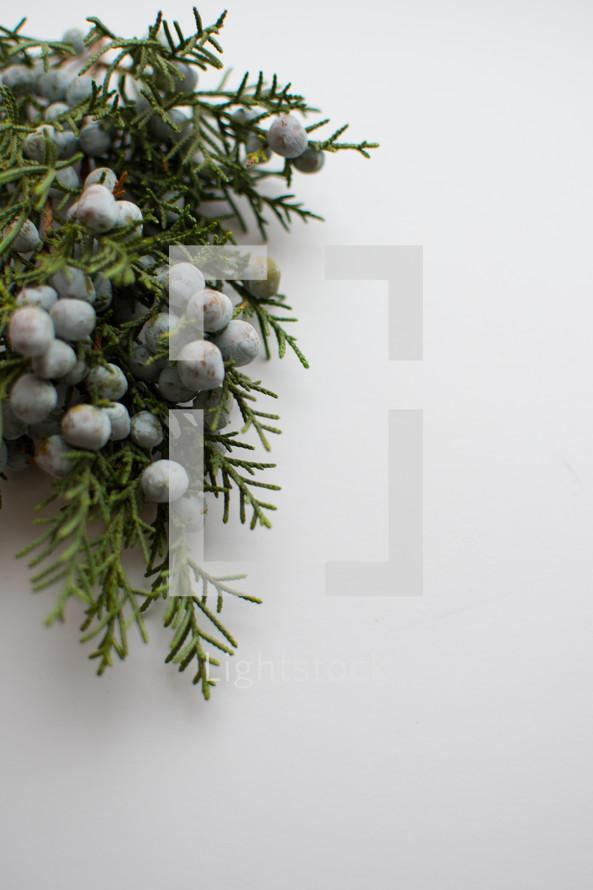 juniper with berries