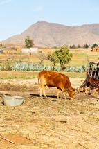 chained cattle in a village