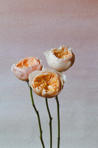 Garden Roses with Pastel Background