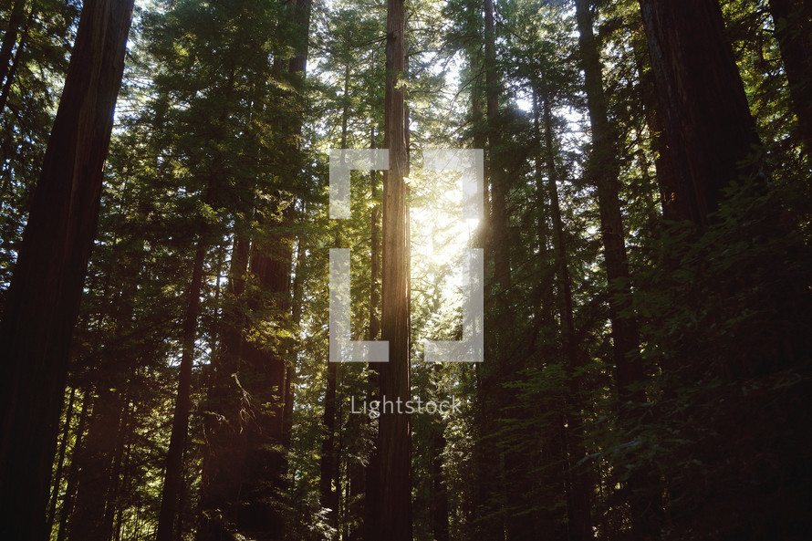 sunlight shining in a redwood forest