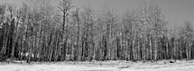 barren trees in a winter forest
