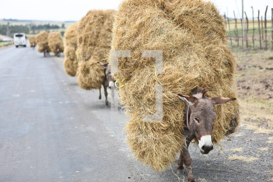 donkeys carrying bales of hay
