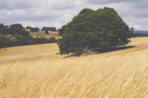 tall golden grains on a hill