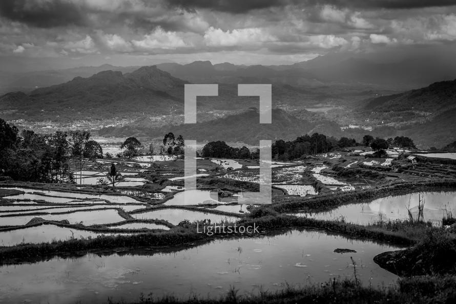 rice fields in Luwuk