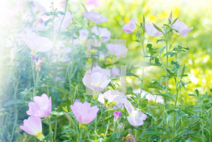 sunlight on evening primrose flowers