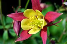 yellow columbine flower