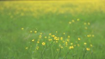 yellow wildflowers in a meadow