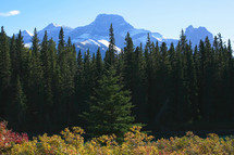 Field of evergreen conifer trees