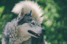 Husky with blue eyes looking off over a lush green background.