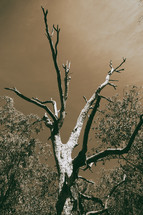 bare tree in Australian Outback