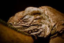 sleeping iguana