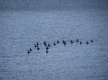 flock of cormorant birds on the water congregating together for an afternoon of floating on the water and fellowship together. Church is very much like a flock of birds, they should stick together for fellowship, breaking bread and worship to bond and grow together in the Lord.