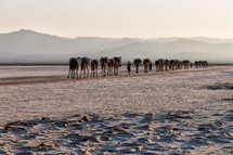 caravan of camels through the desert