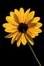underneath a yellow flower, buphtalmum salicifolium